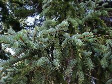 Picea koyamai KOYAMA'S SPRUCE Seeds!