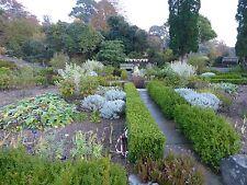 Buxus semperviren-Scatola hedge 50 semi vitali