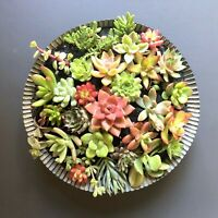 25 + 2 Beautiful, Colorful & Healthy Succulent Cuttings! 25 Varieties FREE SHIP