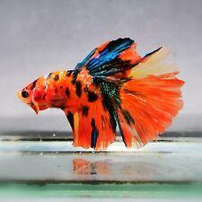 Live Betta Fish - Male - Koi Candy OJ Tricolor Halfmoon (AMMAUG2) (High-Grade)