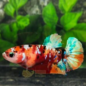 Live Betta Fish Multicolor Galaxy HMPK Sorority Female by SINGGAHAN BETTA FARM!