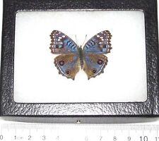 REAL FRAMED BUTTERFLY BLUE PRECIS RHADAMA AFRICA R3