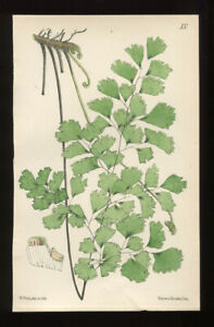 Charming Antique FERN Print Engraving  Hand Coloured - Adiantum - Maidenhair