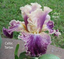 Tall Bearded Iris ~ Celtic Tartan ~ Additional wins ship $1.25 each