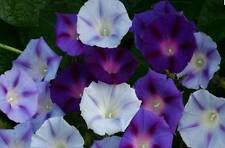 FLOWER MORNING GLORY IPOMOEA MIXED 200 FINEST SEEDS