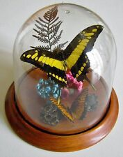 Yellow Swallowtail Butterfly in a Dome