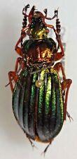 Carabidae Carabus Chrysocarabus auronitens normannensis France #W96 Beetle