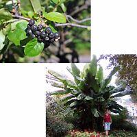 exotisch Garten Pflanze Samen winterhart Sämereien Exot ARONIA+BANANE frosthart