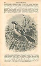 Pie-grièche grise Lanius excubitor Laniidae Oiseau GRAVURE ANTIQUE PRINT 1863