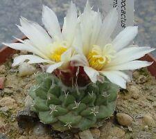 Strombocactus disciformis - Fir Cone Cactus - 25 Quality Seeds