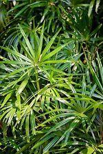 Wie viele Schirmchen stellt die Strahlenpalme ihre grünen Blätter empor.