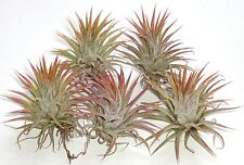 lot of 5 ionantha mexican tillandsia airplant measuring 2 inches tall. air plant
