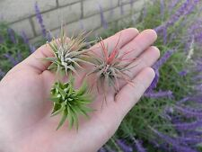 Ionantha Vareity 10 pack of Tillandsia airplants