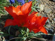 Tulipa vvedenskyi 5 seeds