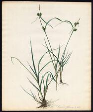 Antique Print-YELLOW SEDGE-CAREX FLAVA-971-Flora Batava-Sepp-1800