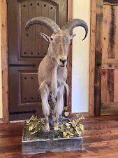 Aoudad Taxidermy Half Body/ Wall & Floor Mount / Barbary Ram Sheep
