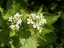 60 Samen Knoblauchsrauke Alliaria petiolata Rauke Lauch Knoblauchhederich