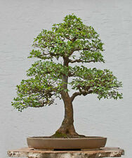 Bonsai Seeds Chinese Elm Tree Mini Ulmus Pumila Free Shipping Plant for home
