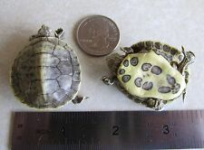 2 X RED-EARED SLIDER Turtle Hatchlings Taxidermy lot pair Shell Shells Art USA!