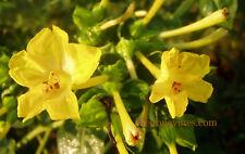 Mirabilis multiflora Golden 4 tubers FREE SHIPPING