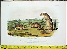 Audubon Quadrupeds.1st.edit.Mexic an Marmot Squirrel,Handc.Litho.1849 ,#109