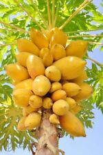☆Carica Papaya☆Asimina Triloba☆ 5-Finest Seeds☆Outdoor Fruit Tree☆UK Seller☆>