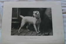 WIRE HAIRED FOX TERRIER NAMED CHAMPION OAKLEIGH TOPPER DOG PRINT BY GEORGE EARL