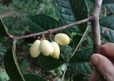 1 Fresh seed of Eugenia latifolia - Ultra Rare Tropical Fruit