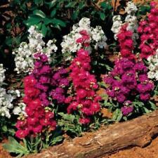 Stock Giant Imperial 50 seeds cut flower garden