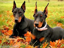 4 Autumn Dog Puppies Doberman Pinscher Stationery Notes Notecards/ Envelopes
