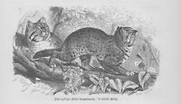 Zwergkatzen Felis Wildkatzen Holzstich von 1891 Raubkatzen
