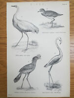 Antique Engraving Print Bird Picture Red Flamingo Great Egret Cariama OLD