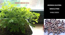 MORINGA OLEIFERA 10 SEMI - MIRACLE TREE / DRUMSTICK HIGH GERMINATION TRUE SEEDS