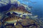 "Al Agnew ""Golden Opportunity"" Fishing Art Print-Signed  17.5"" x 12.5"""