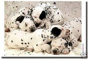 Dalmation Puppies - Dog Animal Pet Puppy Print   POSTER