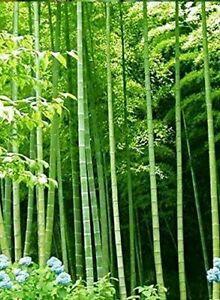 10 Samen von BAMBU 'ARUNDINACEA BAMBOO