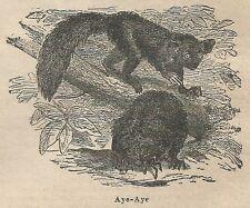 A1030 Aye-Aye - Stampa Antica del 1911 - Xilografia