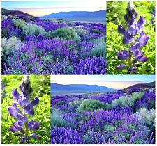 (50) SWEET Blue LUPINE Flower Seeds - Lupinus angustifolius - Combined S&H