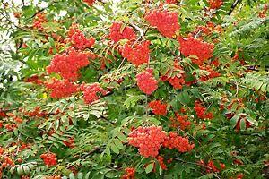 Rowan, (European Mountain Ash), Sorbus aucuparia, Tree Seeds (Fast, Fall Color)