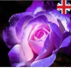 STIFLING REMORSE BOWER ROSE SEEDS GARDEN PLANT GARDENING 20% OFF WITH MULTIBUY