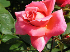 LEAPING SALMON - 5.5lt Potted Climbing Garden Rose - Highly Fragrant Pink Blooms