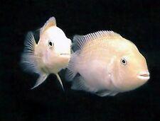 10 (ten) x Amatitlania nigrofasciata 'White' (Convict Cichlid)