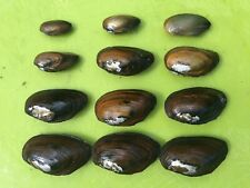 12 Live *FRESHWATER MUSSELS* - Natural Fish Waste Removal For Pond or Aquarium