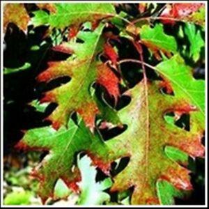 Cherry Bark Oak Seedling Tree Quercus pagoda Red Oak Desirable Lumber & Acorns