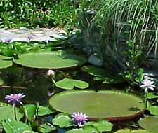 Victoria Amazonica/Giant Water Lily/Lotus/110 seeds!!!