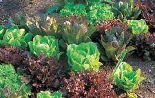 Free shipping in Can.Organic Heirloom Lettuce Survival Garden 12pks  1125+ seeds