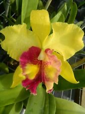 New listing Blc Williete Wong 'The Best' orchid plant (177)