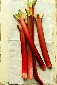 3 x great quality Rhubarb 'Champagne' plants in 9cm pots (NOT plugs or crowns)