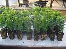 Buchsbäume mit Strauchpflanzen mit mittlerem Wasserbedarf