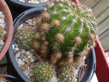 ECHINOPSIS EYRESII (WELL ESTABLISHED 5CM SPECIMEN)